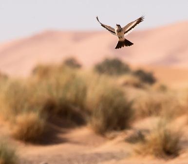 Viaje ornitologico a Marruecos Observación de aves en el desierto